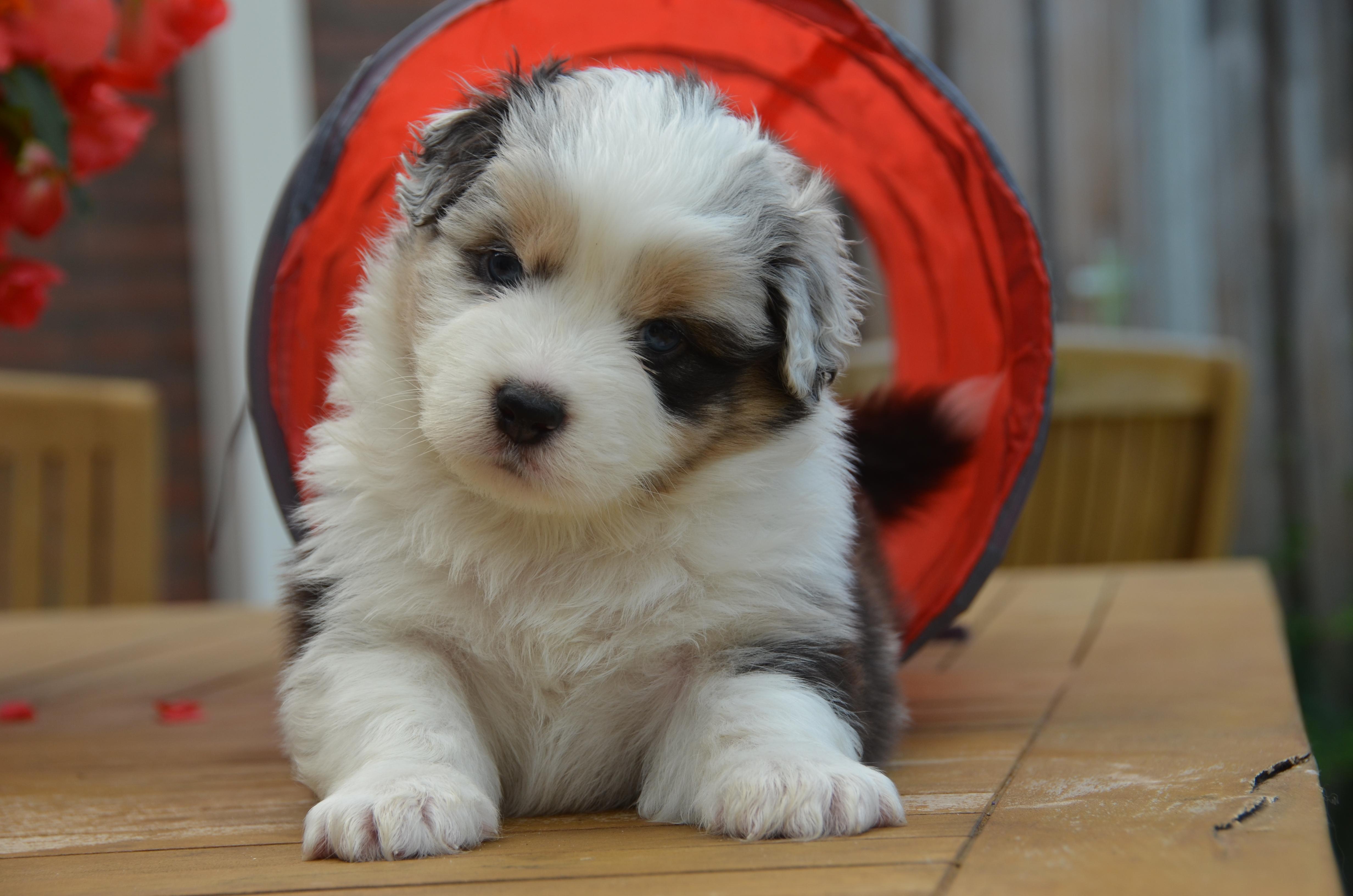 Pups Indy 4 weken 179
