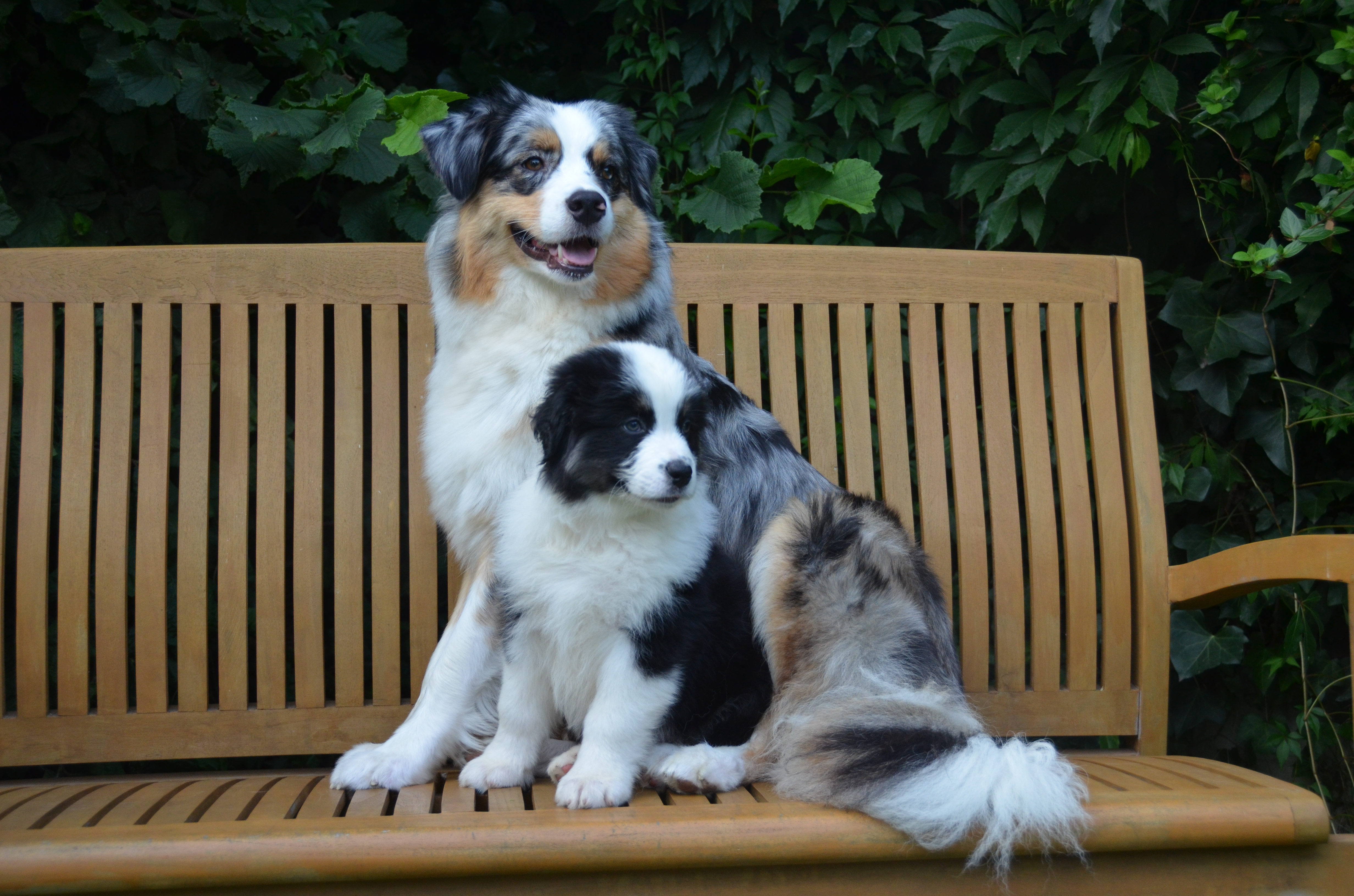 Pups Indy 8 weken 007