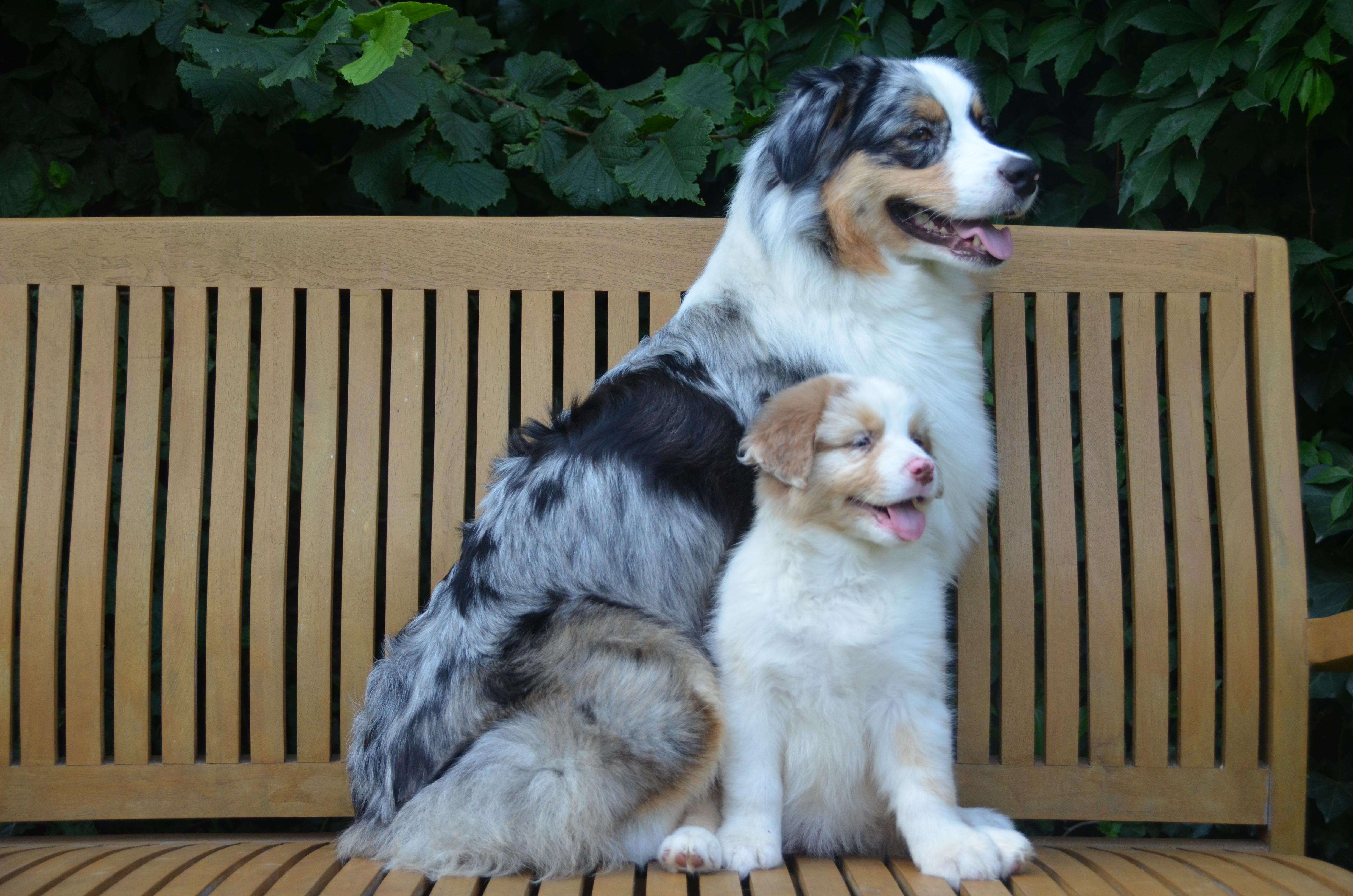 Pups Indy 8 weken 028