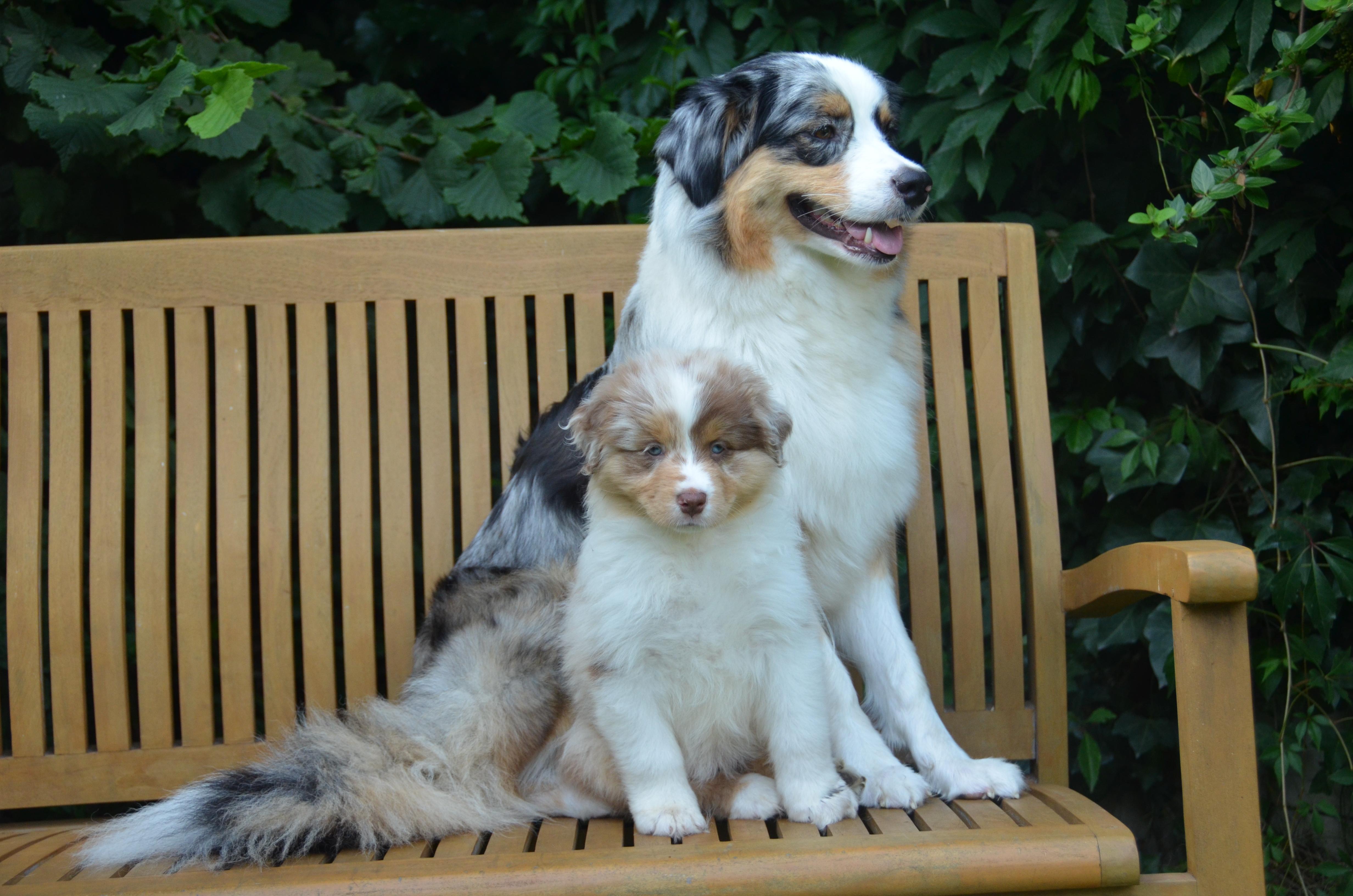 Pups Indy 8 weken 036